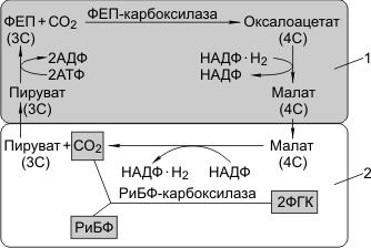 С4-фотосинтез